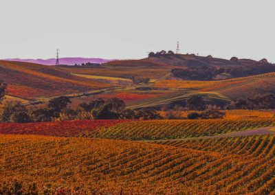 Fall Vineyard - Carneros